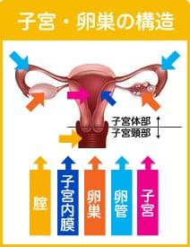 子宮・卵巣の構造 子宮体部 子宮頚部 膣 子宮内膜 卵巣 卵管 子宮